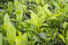 Srimangal-6297 (BohemianTraveler) Tags: asia tea bangladesh srimangal srimongol sreemangal