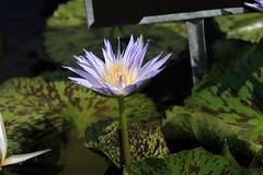 Canon212254 (godrudy6661) Tags: flower neworleans waterlillies noma citypark neworleansmuseumofart