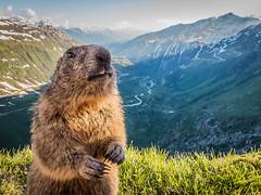 2016-06-24_furka_mormota_1a (vond.one) Tags: mountain lumix switzerland panasonic marmot hegy furka svjc mormota fz200