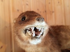 Argh!!! (Dick Dangerous) Tags: iceland mink taxidermy