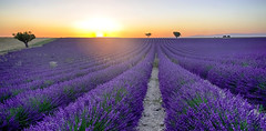 Lueur provenale........ (Malain17) Tags: travel sunset sky panorama france nature colors landscape photography flickr image pentax perspective photographers arbres provence lavandes sillons outdor