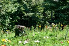 20160618-141500_tokorozawa-lily-garden (t.nanba) Tags: jp