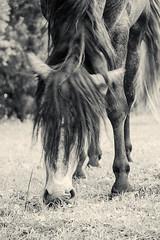 Floro (feldweg) Tags: horse caballo spanier cavallo stallion hest kon hengst hven guthven