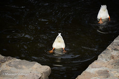 Duck bums in the pond