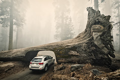 Sequoia Down (Allard Schager) Tags: california road trees usa mist david nature car fog america forest giant landscape nationalpark spring log nikon jeep unitedstatesofamerica structure foliage textures treetrunk vegetation trunk april organic suv goliath sierranevada amerika lente sequoia breathtaking 1890 sequoianationalpark gettyimages visalia californie spectacle extremewideangle tunnellog 14mm jeepgrandcherokee tunneltree beautyinnature mutedtones 100faves tularecounty 2013 200faves senseofscale d700 nikond700 nikkor1424mmf28 nikonfx allardone darkcontrasts allard1 nikonsb910 allardschagercom