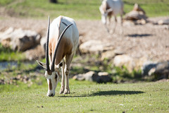 Q02A4713.jpg (Denzil Burriss) Tags: nature animal canon zoo wildlife may kansascity missouri antelope dslr hoofstock kansascityzoo 2013