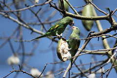 Two Green Parakeets. (Alexandra Rudge. Thanks for 257.000 + visits!) Tags: bird birds animal animals fauna canon wildlife arboretum aves ave pajaros parakeet pajaro animalia loro jardinbotanico cotorra periquito perico wildbirds greenparakeet chordata arini aratinga californiabirds psittaciformes californiawildlife faunasilvestre aratingaholochlora losangeleswildlife losangelescountyarboretumandbotanicgarden animalessilvestres californiafauna arinae alexandrarudge faunacaliforniana faunadecalifornia pajarosdecalifornia animalessalvajesdecalifornia pajarosdenorteamerica jardinbotanicodecalifornia jardinbotanicodelosangeles jardinbotanicodearcadia arcadiaarboretumandbotanicgarden faunanorteamericana psittacoidea wildlifeofcalifornia lawildlife losangelesfauna