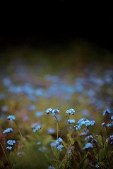 forget me not (arrowlili) Tags: flowers blue spring woods bokeh lotr 365 odc forgetmenots theshire