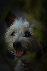 Gracie (Belapfny) Tags: portrait dog pet smile furry terrier cairn foreground