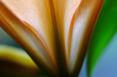 Picture(s) Of Lily (AnyMotion) Tags: flowers plants abstract macro primavera floral colors petals spring colours lily blossom frankfurt ngc npc vase makro blüte lilium printemps lilie blütenblätter fa farben abstrakt frühling makroaufnahmen anymotion 2013 canoneos5dmarkii 5d2 mupix