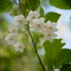 Japanese snowbell (1/3) (macpapaja) Tags: wild flower nature square withe ricoh gxr