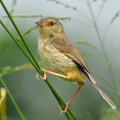 {, } ( Boti) Tags: hongkong plainprinia wildbird