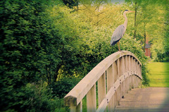 Bridgeman (Seapony) Tags: bridge trees green bird heron grass sunny bushes woodenbridge houten greyheron blauwereiger seapony