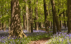 Wend your way... (rosejones1uk) Tags: wood flowers trees england bluebells spring