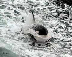Orca (bether) Tags: ocean sea white black nature water animal alaska mammal jump whitewater wave whale orca fin killerwhale marinemammal beringsea breach d90 whalebreach