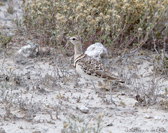 Double Banded Courser (Squirrel Girl cbk) Tags: double banded courser rhinoptilusafricanus