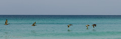Awesome Pelicans (Rick Smotherman) Tags: ocean sky beach gulfofmexico nature birds sunrise canon outdoors 50mm morninglight spring sand florida flight may 7d birdsinflight destin canon7d