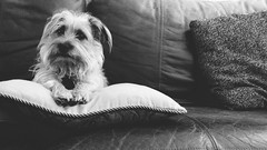 The Man in Charge (LividFiction) Tags: portrait blackandwhite dog pet monochrome square louis photo pillow couch terrier crop squareformat cushion afterglow 16x9 afterlight windermerefl terriermix portraitofadog iphoneography instagramapp uploaded:by=instagram vscocam