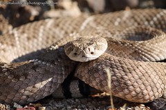 Diamondback off Phillips Road, San Tan Mountains, Arizona (CrotalusfreakPhotography) Tags: wild arizona southwest nature toxic beauty animal animals landscape photography desert reptile snake wildlife gorgeous awesome western wilderness rattlesnake herp southwestern venomous herpetology crotalus crotalusatrox desertscape herping westerndiamondbackrattlesnake