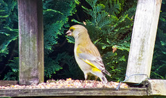 2013 05 17_Greenfinch_0010 (Keith Laverack) Tags: greenfinch 1facebook 1flickr 1keithlaverack 1wilberfoss