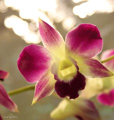 (*NoOoN*) Tags: flowers plant orchid flower colors canon bokeh fuchsia boca زهرة canon500d نبات ألوان كانون أزهار فوشي بوكا أوركيد بوكيه