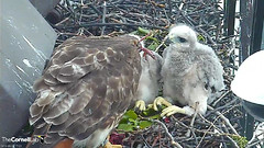 pigeon leg prey (Cornell Lab of Ornithology) Tags: red bird big university feeding cams cornell prey redtailedhawk nestlings labofornithology cornelllabofornithology