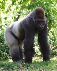 Silverback (PelicanPete) Tags: nature beauty closeup comfortable walking relax meditate sitting gorilla wildlife ngc fingers profile peaceful calm sit upright primate lightly animalkingdom theboss clearing silverback orlandoflorida westernlowlandgorilla facinating dominantmale supershot specanimal knucklewalker primateseries endofseries grounddwelling fromafrica adorablecritters toughlightingconditions naturescarousel naturallywonderful thegreatape heavilybacklit thesunshinegroup 300600lbs 5to6feet