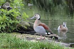 Washington Wetlands Centre (Graeme Darbyshire) Tags: duck wwt 650d quotwashington wwtwashington washingtonwetlandcentre graemedarbyshire gdarbyshire washingtonwildlifecentre