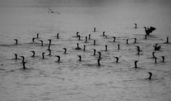 Cormorants (Garett Gabriel) Tags: morning blackandwhite lake nature water birds cormorants landscape gg fishing nikon midwest photographer unitedstates natural feeding outdoor wildlife documentary kansas ng myshot nationalgeographic photojournalistic garettgabriel d800e nikond800e