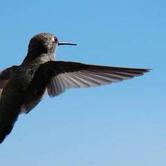 wing it (Riex) Tags: california bird animal flying inflight hummingbird wing coco hummer oiseau aile colibri chocho schneiderkreuznach envol variogon z990 kodakeasysharemax