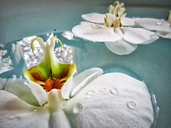 bathing orchids (matthewtylerG) Tags: white orchid flower reflection water bath petal droplet
