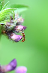 Ant on Vetch (Ben Heather) Tags: macro canon woodland suffolk ant reserve hymenoptera vetch bullswood benheather 100musmisl