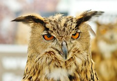 Eagle Owl. 'bubo bubo' (Paul (Barniegoog)) Tags: bird nature countryside eagle beak feathers ears predator bubobubo eagleowl