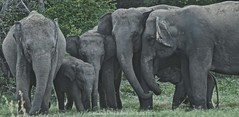Elephant Family (Migara.Migz) Tags: bird nature girl landscape sister wildlife hills elephants srilanka copyrights reserved gampola donotsteal 2013 ambuluwawa nostealing migarawijesinghe migarawijesinghephotography