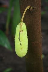 Averrhoa bilimbi - Botanische tuin Delft (Ruud de Block) Tags: oxalidaceae averrhoabilimbi botanischetuintudelft botanicalgardentechnicaluniversitydelft ruuddeblock