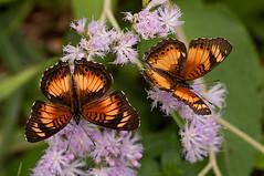 A nice pair (zimbart) Tags: africa butterflies insects lepidoptera uganda botanicgarden nymphalidae entebbe nymphalinae junonia junoniasophia