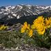 2nd Place - Flora - Frank Zurey - Alpine Sunflower