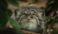 Pallas's cat (Blitzknips) Tags: cat tiere katze tierpark katzen manul tierparkberlin pallascat photographyforrecreationeliteclub