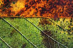 autumn colour leaf (ray.marie.t21) Tags: cobweb