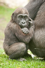 2013-10-12-12h09m28.272P5914 (A.J. Haverkamp) Tags: amsterdam zoo gorilla thenetherlands artis dierentuin dafina canonef70200mmf28lisusmlens douli httpwwwartisnl dob02011987 pobamsterdamthenetherlands pobstuttgartgermany dob27022012