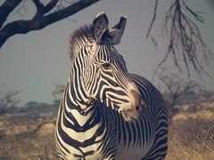 Kenya 2013 Samburu (JoelyBoyd) Tags: africa wild summer elephant hot animals dead photography kenya wildlife lion lizard safari views rhino zebra cheetah giraffe hippo africasafari