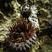 Phlyctenanthus australis, or, the Southern sea anemone #2