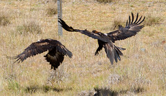 Wedge tail Eagles-1102 (rawshorty) Tags: birds australia canberra act jerrabomberrawetlands rawshorty