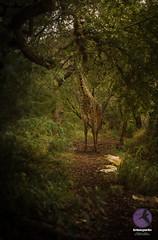 Hidden beauty (briancparks) Tags: trees green nature sanantonio outside outdoors nikon texas trail giraffe iadc