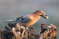 _DSC8928 (Alvise Dorigo) Tags: fauna natura uccelli animali oasi ghiandaia oasicervara