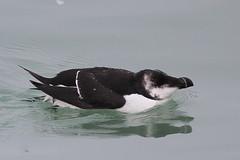 Razorbill - Dover Harbour (mikehook51) Tags: uk winter sea england nature water birds digital port coast pier kent harbour wildlife january avian razorbill auk doverharbour princeofwalespier canoneos7d