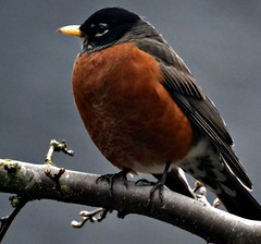 238 (The Heavens declare the glory of God) Tags: tree bird robin amber perch limb yellowbeak