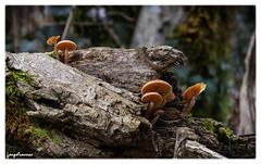 Champignon (leeleeque) Tags: macro tree nature public automne canon photographie lumire sigma automn arbres foret arbre randonne hautesavoie 600d canon600d angetraverso acontretemps