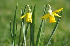 Pavilion_Gardens_0054 (Peter-Williams) Tags: uk flowers garden sussex countryside brighton crocus daffodil parkland carmelia paviliongardens