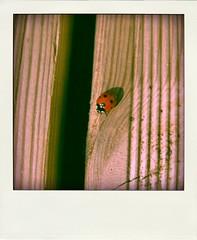 Ladybird (Cristina Birri) Tags: sun primavera spring ladybird legno coccinella portafortuna